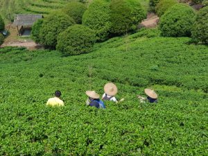 Yangshuo Tea Plantation
