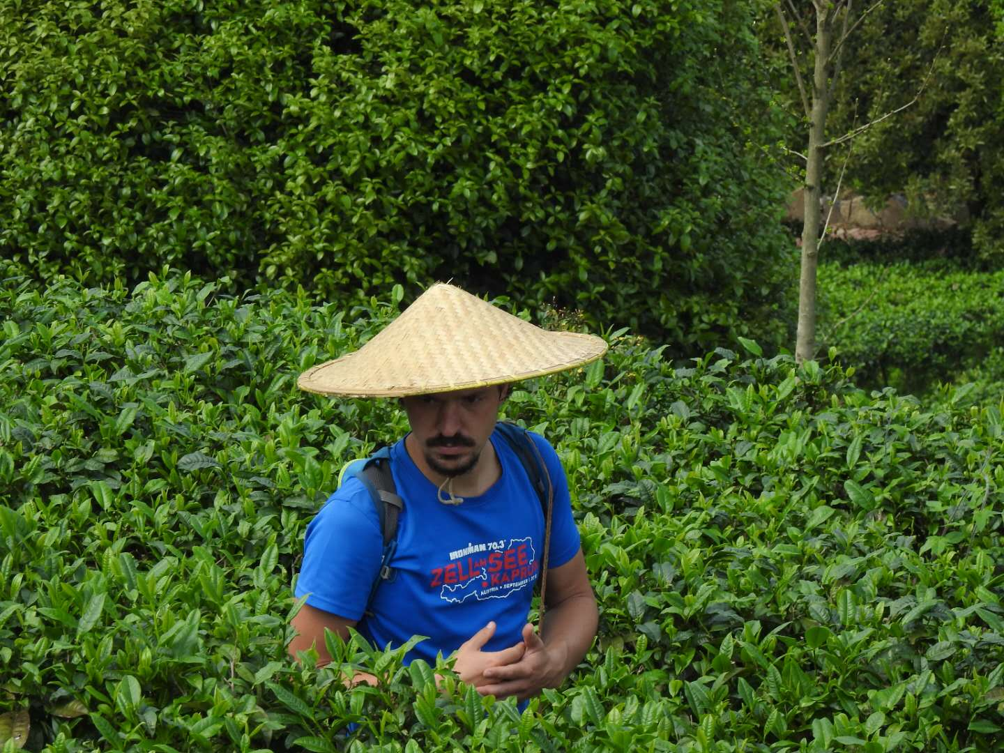 picking-tea-in-Yangshuo