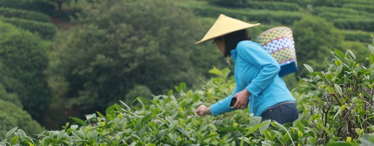 picking-tea-leaves-at-the-yangshuo-tea-plantation