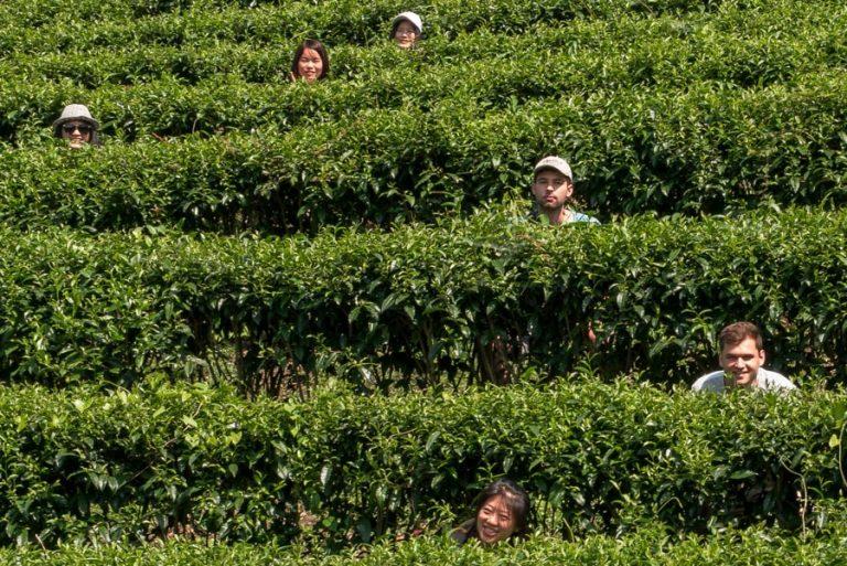 Tea Plantation - National Holiday Camp