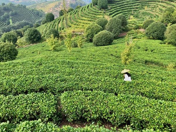Tea plantation in Yangshuo
